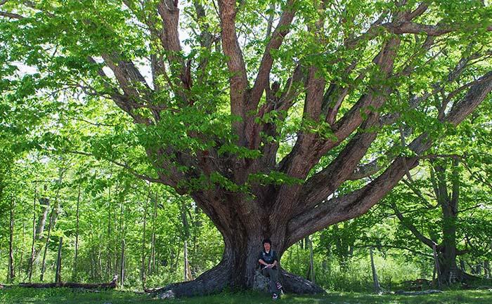 西ノ湖巨木2